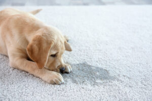 pet odor - Puppy Pee